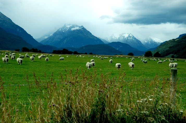 sheep-in-pasture-1
